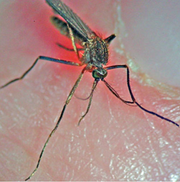 The black-tailed mosquito is the primary carrier of EEE.