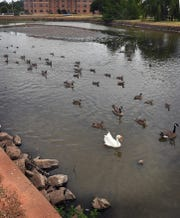 Geese and ducks paddle through the shallow waters of Sikes Lake near the Wichita Falls Museum of Art at Midwestern State University. A lack of significant rainfall has exposed the bottom of this section of the lake.