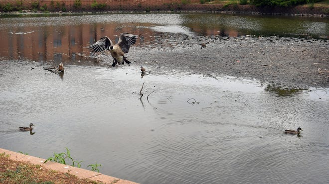 Canadian geese and ducks deal with shallow waters on the north side of Sikes Lake near the Wichita Falls Museum of Art at Midwestern State University.