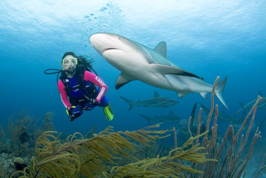 Nassau, Bahamas, often called the shark diving capital of the world, features Caribbean reef sharks in warm shallow-water dives.