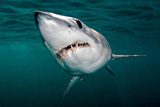 Divers have a good chance of encountering shortfin mako, and blue sharks on day trips off the coast of Narragansett, Rhode Island.