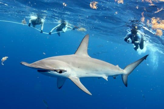 Because the Gulf Stream comes so close to shore near Jupiter, Florida, both snorkelers and scuba divers have a good chance of catching sight of lemon, bull, sandbar, great hammerhead and tiger sharks.