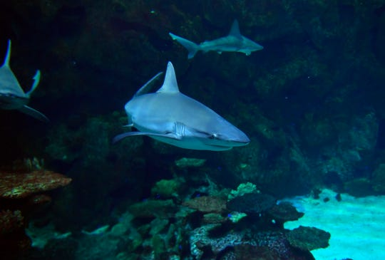 Certified divers can even arrange to take a dip with the killers at Shark Reef Aquarium in Las Vegas.