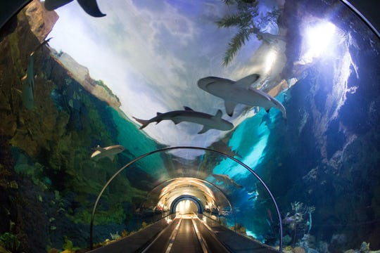 Sea World San Diego's 280,000-gallon Shark Encounter's exhibit is home to sand tiger, bonnethead, blacktip and whitetip reef sharks.