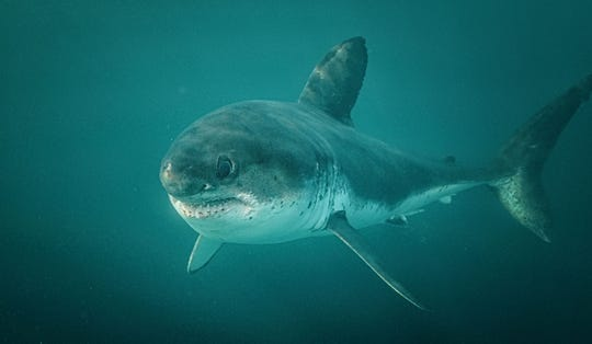 Visitors have an opportunity to snorkel or dive with the rare salmon shark on trips operating in Alaska's Prince William Sound.