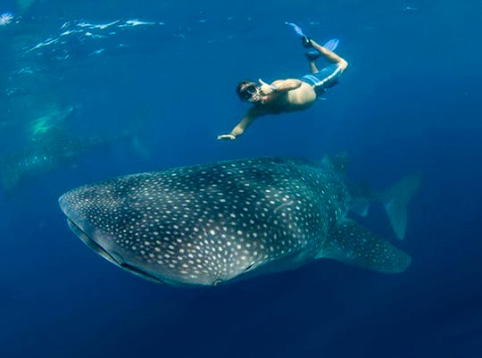 Divers can swim with whale sharks at Atlanta's Georgia Aquarium and in the wild off Isla Mujeres, near Cancun, Mexico.