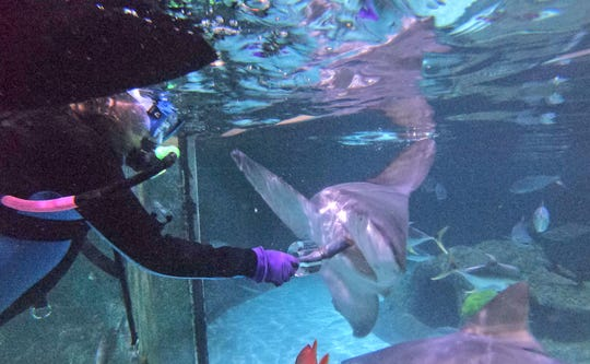 At the interactive Florida Keys Marine Life Experience in Marathon, Florida, visitors can get in the water and feed sharks in a 200,000-gallon. interconnected saltwater aquarium.