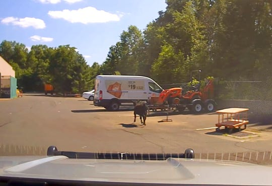 This July 13, 2019 frame grab from a police dashcam video, shows a cow who escaped a nearby slaughterhouse moving through a Home Depot parking lot in Bloomfield, Conn.  When employees of the butchery wrestle the calf to the ground, one slit its throat. Animal activists are decrying the public slaughter, and some people are making anti-Muslim comments about the halal butchery.