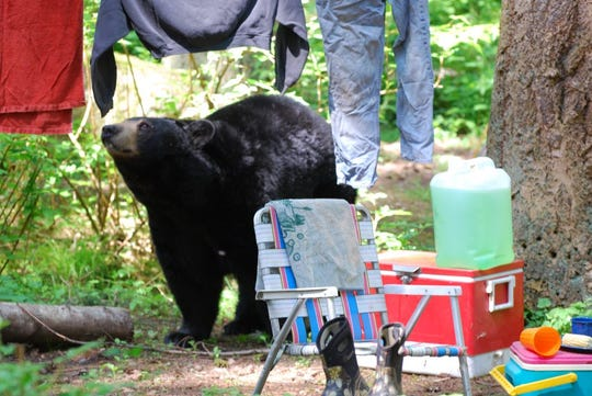 Colorado Parks and Wildlife staff has had a rash of reports recently involving bears in campgrounds.