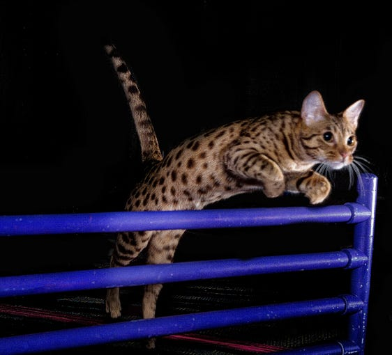 The ocicat Riverspots Yellow Polka Dot Bikini is the country's top-ranked cat for feline agility, according to The Cat Fanciers' Association.