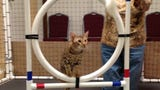 Thor competed in feline agility at the 2014 CFA Cat Show in Fort Myers. He won't be back this weekend, but two more ocicats from Irushka Cattery will.