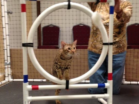 The ocicat Odin jumps through a hoop during the 2014 feline-agility competition at Fort Myers' CFA Cat Show.