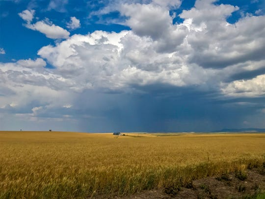 The wheat harvest has begun across northcentral Montana including east of Great Falls.