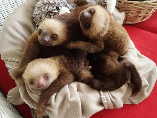 A group of baby sloths at the APPC