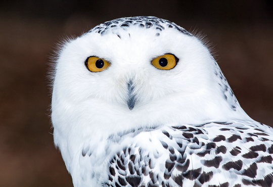 Brighton Art Guild member Gary Brewer captured this photograph of a snowy owl.