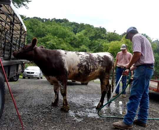 Briar Roberson uses a hose to rinse off the hooves of his cow Seven K on the family farm in Thompson's Station on July 28, 2019.