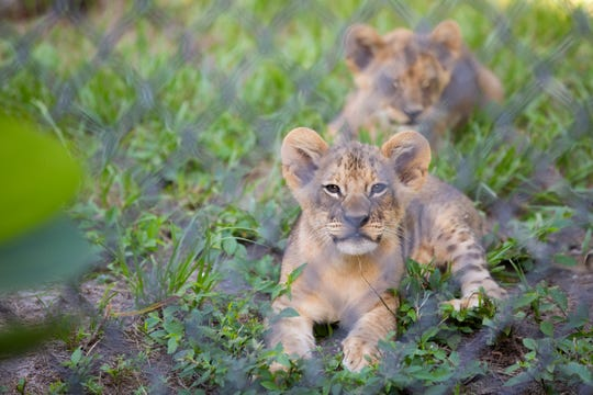 Three lion cubs named Karoo (Ka-roo), Ruaha (Ru-ah-ha), and Chobe (Cho-bee), make their grand debut during a media preview at the Naples Zoo at Caribbean Gardens on Tuesday, July 30, 2019. They will be officially introduced to the public on Wednesday, July 31.