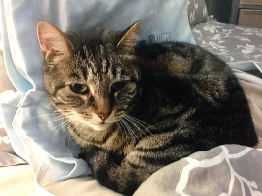 Owner Evan Strassberg is looking for his cat, Blade, which accidentally ended up traveling all over Bergen County in a furniture truck before going missing.