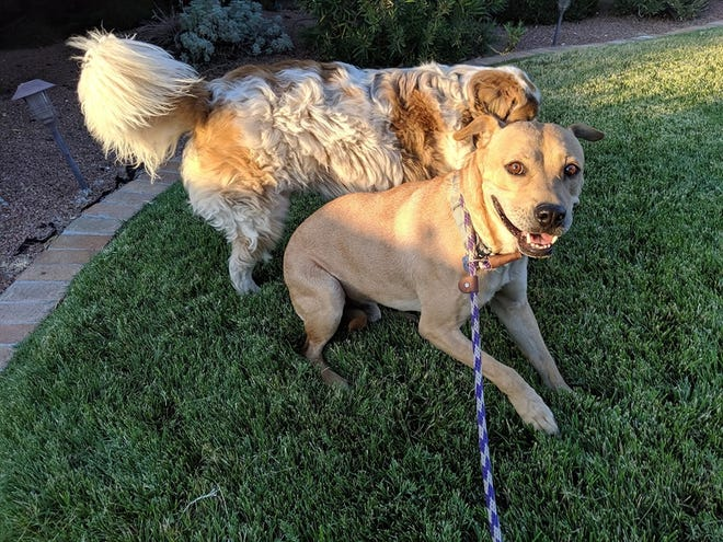 Benson, the dog who was shot and abandoned on the East Mesa in Las Cruces, plays with his new brother Bandit.
