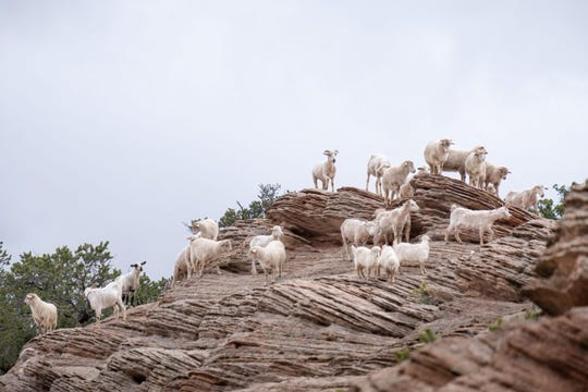 Navajo-Churro sheep roam a rocky hillside in this image included in a Stetson Stories blog entry on Navajo shepherds.