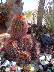 The big, bright, multi-headed, wide-base cactus offer lots of nooks and crannies for black widows and the insects they feed on.