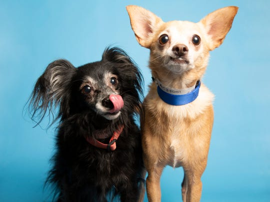 Coco and Chanel are available for adoption on Sunday, Aug. 4 at noon at 1521 W. Dobbins Road in Phoenix. For more information, call 602-997-7585 and ask for animal numbers 522001 and 522002.