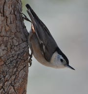 The white breasted nuthatch finds insects to eat by looking down into tree crevices.