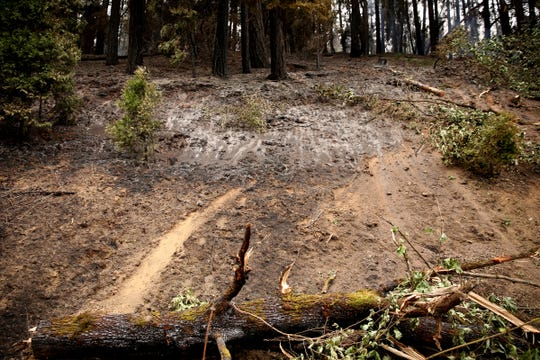 Trees burned to the point of danger of falling down have been intentionally felled to protect firefighters and drivers near Interstate 5 on the Milepost 97 Fire near Azalea in southern Oregon on July 30, 2019.