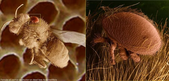 Varroa destructor, a mite, is one of the deadliest honey bee parasites. The Varroa mite, shown microscopically attached to a dead bee, acts like a tick by latching onto bees and bee larvae, then sucking out the bee equivalent of blood, weakening the bee and potentially spreading disease.
