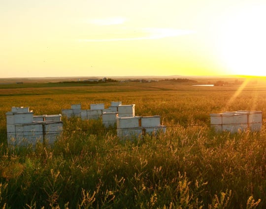 Beekeepers often make agreements with local landowners to place hives in hayfields or pastures. These hives were placed in a hayfield that saw a massive bloom of sweet clover, a prime bee food source that results in the mild, light-colored honey that South Dakota is renowned for producing.