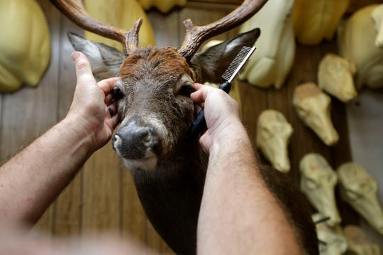 Dallas Burns, manager of Harden's Taxidermy located in Thomasville, Ga., ensures the mounted deer looks as realistic as possible as he adds the finishing touches.