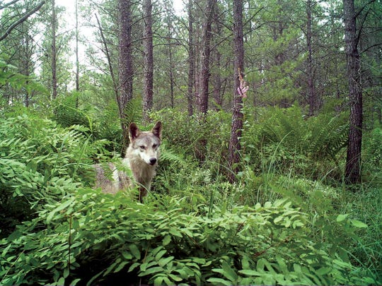 A wolf is shown in this trail cam photo from Snapshot Wisconsin of the Wisconsin Department of Natural Resources.