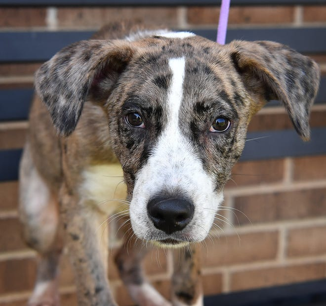 Chip is a 2 1/2-month-old, male Catahoula mix. He is playful, energetic and is available for adoption at the Wichita Falls Animal Services Center.