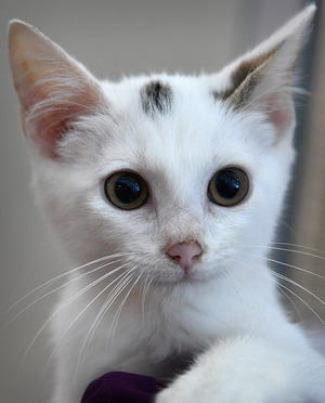 Duke is a 9-week-old, white, domestic short-haired kitten. He is friendly, gets along with other cats and is available for adoption at the Wichita Falls Animal Services Center.