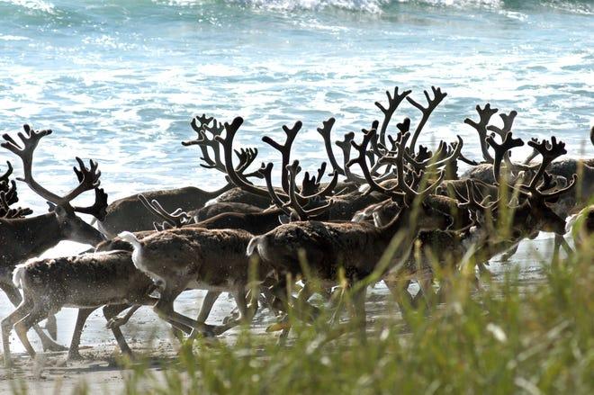 A reindeer herd walks on the beach in Jarfjord, Norway, on November 11, 2009.