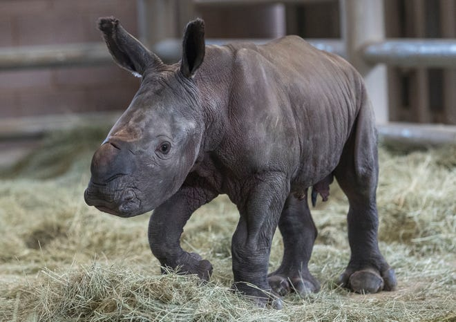 This Monday, July 29, 2019 photo provided by the San Diego Zoo shows a day-old southern white rhino calf standing on its wobbly legs at the Nikita Kahn Rhino Rescue Center at the San Diego Zoo Safari Park in Escondido, Calif.