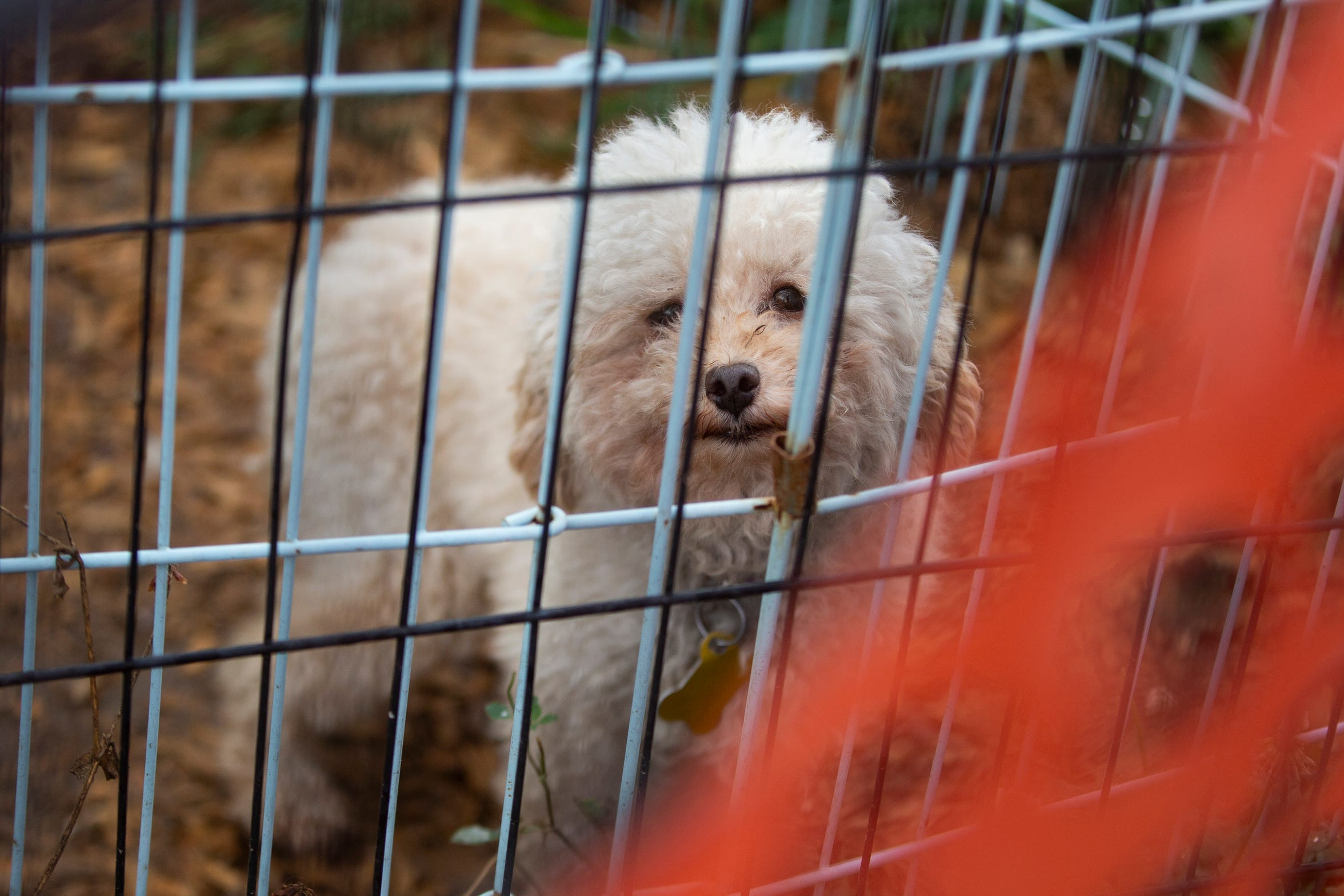 Peaches, 7, peers out of her pen at AHeinz57 Pet Rescue & Transport in De Soto, Iowa on July 31. Housed in the rescue center currently closed to the public, Peaches is one in a batch of over 30 dogs quarantined for up three months due to spreading of the incurable canine brucellosis.
