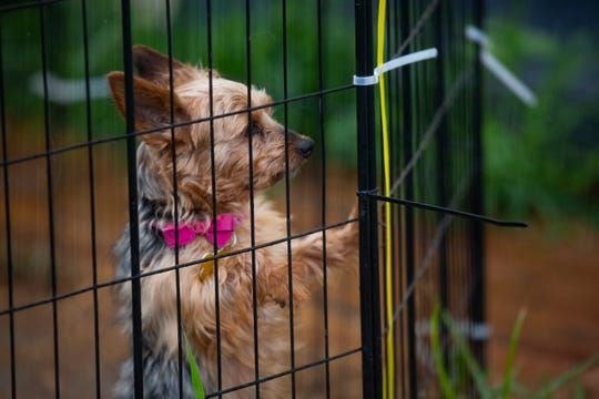 Loretta, 10, peers out of her pen at AHeinz57' Pet Rescue & Transport in De Soto, Iowa on July 31. Housed in the rescue center currently closed to the public, Loretta is one in over 30 dogs quarantined for up three months due to spreading of the incurable canine brucellosis. Quarantines are released when the threat of a brucellosis-positive dog is removed—either through euthanasia or keeping quarantine for the dog's life.