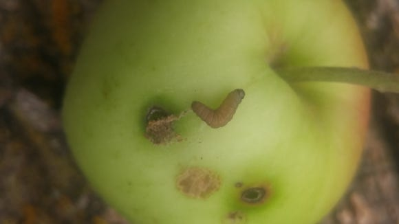 A codling moth larva crawling out of an apple