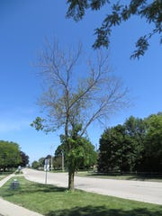 A tree in Elkhorn, Wisconsin shows decline due to the emerald ash borer.