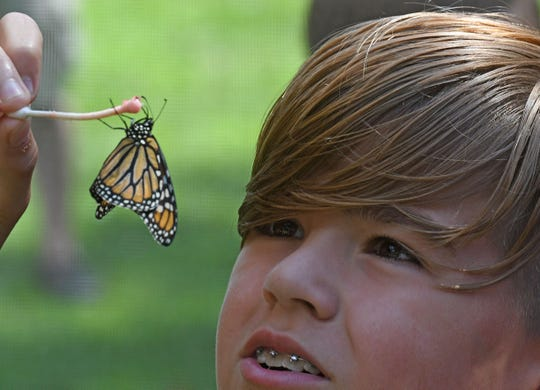 A monarch butterfly enjoys watermelon juice on the tip of a cotton swab held by Hunter Weikle, 12, of Butler.