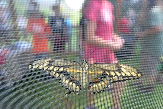 A butterfly soaks in the sun rays on Wednesday in the butterfly house at Gorman Nature Center.