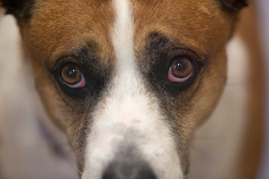 Charlie, a 6-year-old dog at the Wisconsin Humane Society Milwaukee Campus, gives the puppy dog eyes look on July 31.