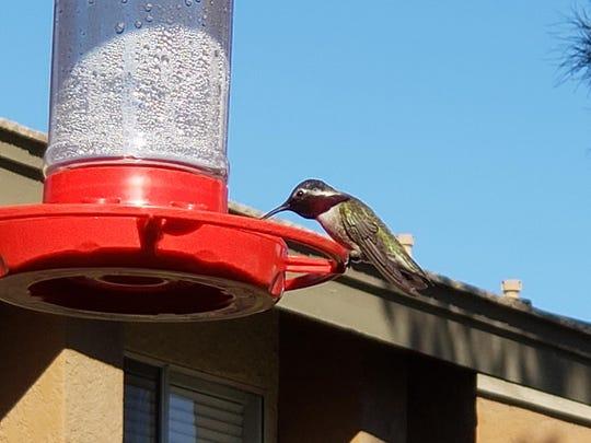 A hummingbird drinking nectar from a feeder.