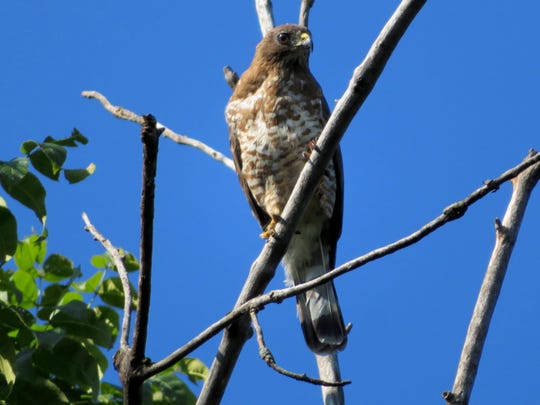 The broad-winged hawk is a commonly found throughout much of Minnesota.