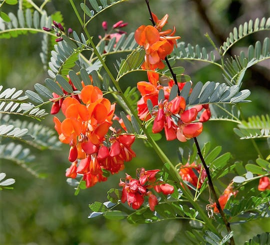 The blooms of red sesbania resemble the blooms of another invasive species, the purple Chinese wisteria.