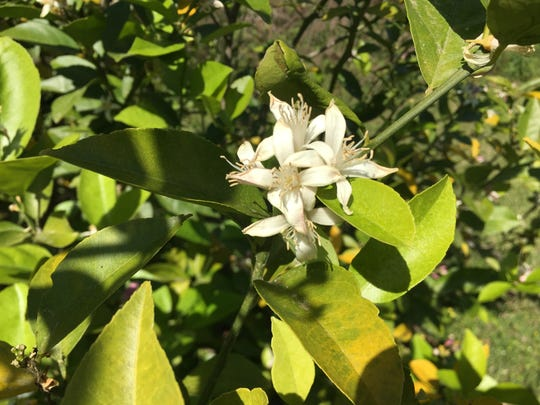 Fragrant blooms like citrus offer pleasant aromas.