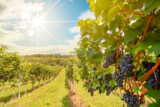 A ton of grapes roughly translates into a 60-gallon barrel of wine.