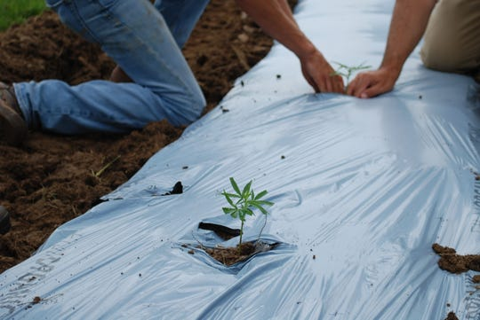 The first hemp since Ohio lifted the ban on the plant went into the ground Thursday at the Ohio Department of Agriculture in Reynoldsburg.