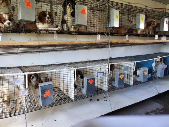 Dogs wait in kennels at a May 4, 2019, auction at Double G Kennels in Knoxville, Ia. By the end of the dispersal auction, 44 buyers took more than 200 dogs to new homes across 10 states.